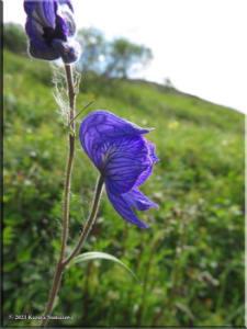 July6th_063_TwelvemileSummit_AconitumDelphiniifoliumRC