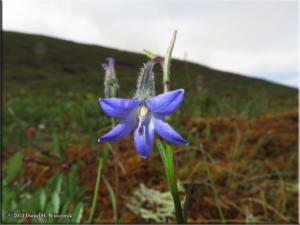 July7_15_CampanulaUniflora_EagleSummitAreaRC