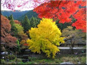 MitakeGinkgoNov19_FallColor_22RC.jpg