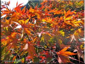 Sawai_FallColor_Nov19_07RC.jpg