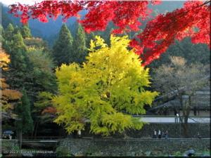 Nov24_TamaRiver135_FallColor_Ginkgo_BESTRC.jpg