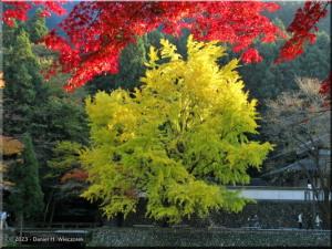 Nov24_TamaRiver147_FallColor_Ginkgo_BESTRC.jpg