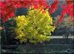 Nov24_TamaRiver65_FallColor_GinkgoRC.jpg