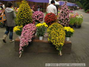 Nov15_JindaiBG_Chrysanthemum01RC.jpg