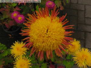 Nov15_JindaiBG_Chrysanthemum02RC.jpg