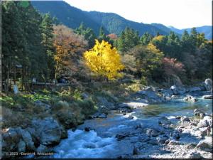 Nov22_Mitake_FallColor_Ginkgo09RC.jpg