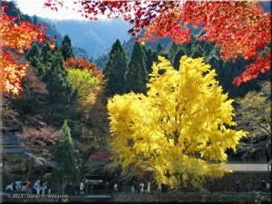 Nov22_Mitake_FallColor_Ginkgo23sRC.jpg