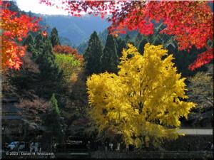 Nov22_Mitake_FallColor_Ginkgo24RC.jpg