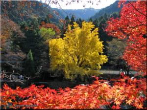 Nov22_Mitake_FallColor_Ginkgo27RC.jpg