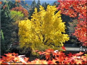 Nov22_Mitake_FallColor_Ginkgo29_BESTRC.jpg