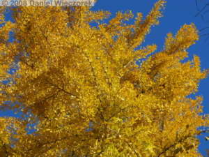 Nov22_Mitake_FallColor_Ginkgo60RC.jpg