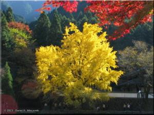 Nov22_Mitake_FallColor_Ginkgo65_BESTRC.jpg