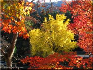 Nov22_Mitake_FallColor_Ginkgo77RC.jpg