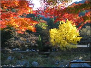 Nov22_Mitake_FallColor_Ginkgo83RC.jpg