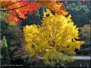 Nov22_Mitake_FallColor_Ginkgo86RC.jpg