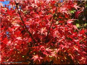 Nov22_Sawai_FallColor05RC.jpg