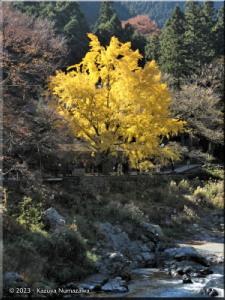 Nov22_Sawai_Mitake058_FallColor_GinkgoRC.jpg