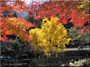 Nov22_Sawai_Mitake061_FallColor_GinkgoRC.jpg