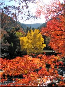 Nov22_Sawai_Mitake064_FallColor_GinkgoRC.jpg