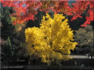 Nov22_Sawai_Mitake069_FallColor_GinkgoRC.jpg