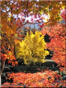 Nov22_Sawai_Mitake077_FallColor_GinkgoRC.jpg