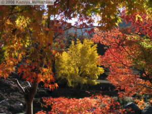 Nov22_Sawai_Mitake079_FallColor_GinkgoRC.jpg