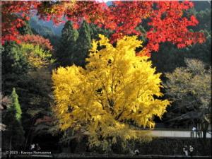 Nov22_Sawai_Mitake109_FallColor_Ginkgo_BESTRC.jpg