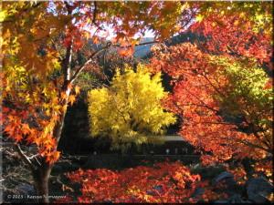 Nov22_Sawai_Mitake114_FallColor_GinkgoRC.jpg