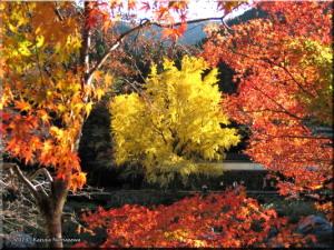 Nov22_Sawai_Mitake115_FallColor_GinkgoRC.jpg