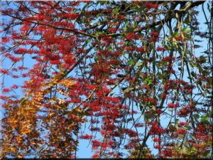 Nov23_NogawaPk_FallColor10_RedBerriesRC.jpg