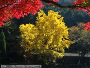 Nov15_Mitake_FallColors_Ginkgo013_RC