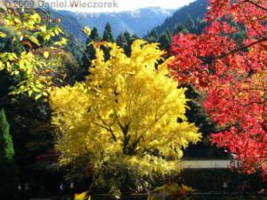 Nov15_Mitake_FallColors_Ginkgo029_RC