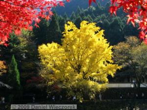 Nov15_Mitake_FallColors_Ginkgo036_RC
