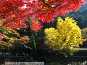 Nov15_Mitake_FallColors_Ginkgo043_RC