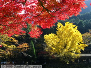 Nov15_Mitake_FallColors_Ginkgo044_RC