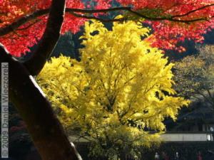 Nov15_Mitake_FallColors_Ginkgo047_RC