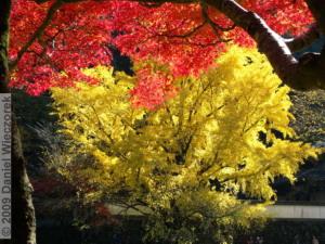 Nov15_Mitake_FallColors_Ginkgo051_RC