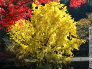 Nov15_Mitake_FallColors_Ginkgo054_RC