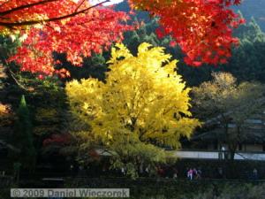 Nov15_Mitake_FallColors_Ginkgo091_RC