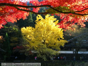 Nov15_Mitake_FallColors_Ginkgo094_RC