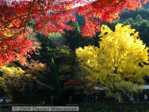Nov15_Mitake_FallColors_Ginkgo099_RC