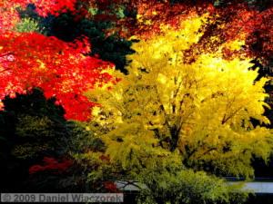 Nov15_Mitake_FallColors_Ginkgo109PSRC