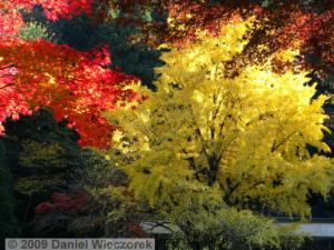 Nov15_Mitake_FallColors_Ginkgo109_RC