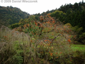 Nov20_Takao_HikageRoad_Persimmon01RC