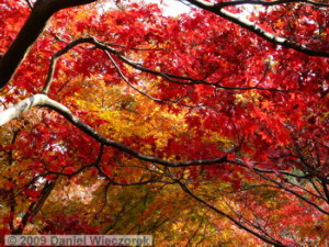 Nov29_JindaiBG_043_FallColor_MapleTreesRC