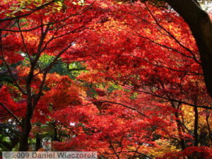 Nov29_JindaiBG_046_FallColor_MapleTreesRC