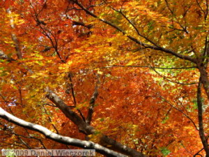 Nov29_JindaiBG_079_FallColor_MapleTreesRC