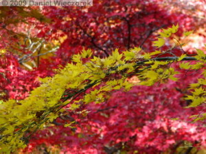 Nov29_JindaiBG_085_FallColor_MapleTreesRC