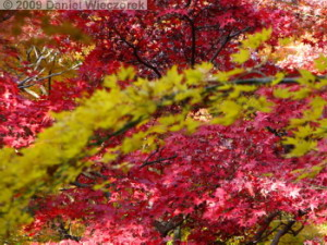 Nov29_JindaiBG_086_FallColor_MapleTreesRC