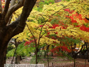 Nov29_JindaiBG_130_FallColor_MapleTreesRC
